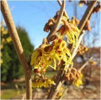 Hamamelis virginiana 2 by Kattvinge