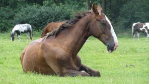 Bay Gelding Warmblood by Horselover60-Stock