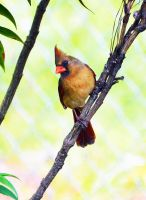Female Cardinal by Tailgun2009