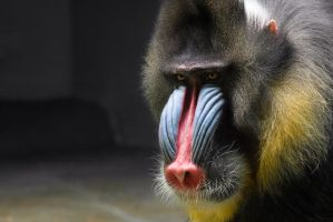 Male Mandrill Portrait I by OrangeRoom