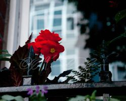 Portland Flower and Fence by helvainia