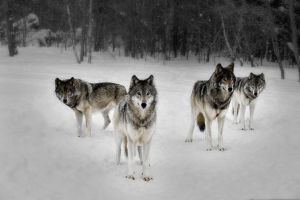 4 Wolves - Wolf Pack by resresres