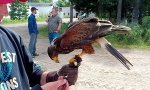 Falconry by flytier