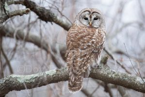 Barred Owl DT68352 by detphoto
