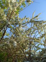 White Flowers On A Blue Day by Plindisen