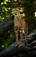 The cheetah by PictureByPali