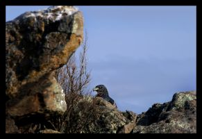 Black chested Eagle buzzard by GonBo