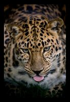 Leopard of amur. by feudal89