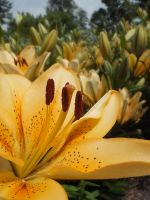Fairy Lilies by Melusine8
