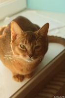 Abyssinian cat 02 by Alexandra-Rei