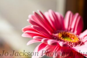 Pale Pink Gerbera 4 by Britwitch-1981