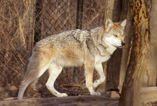 Mexican Wolf Stock 19 by HOTNStock