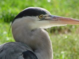 Grey Heron by abstractroses