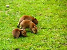 Young Capybaras by MissObsidian95