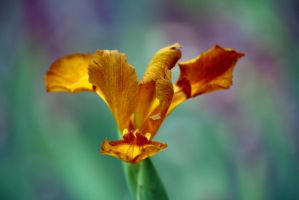Golden Iris by Vividlight