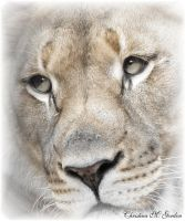lioness eyes by bydandphotography
