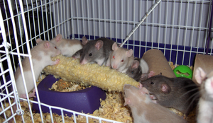 Rats on the cob by the-only-nighthawk