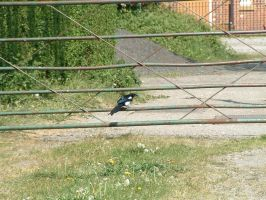 magpie by Birchall96