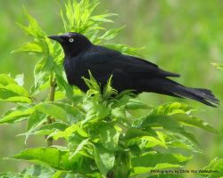 Brewer's Blackbird Moment II by vanwaglajam
