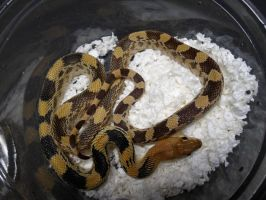 North Mexican Pine Snake by ReptileMan27