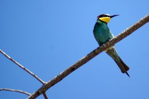 bee-eater by baraktal