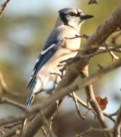 Blue jay by Laur720