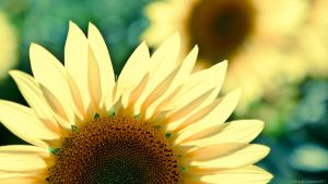 Sunflower Wallpaper HD by geko78