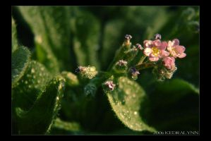 Forget Me Not 3 by kedralynn