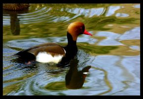 The Duck by chakram