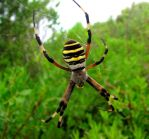 Wasp Spider by Faunamelitensis