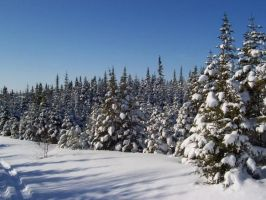 Snow Covered Firs by Graphitation