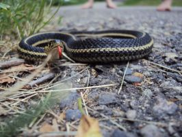 Another garter snake pic by highlyimprobable