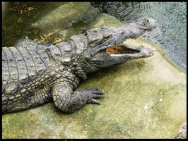 Crocodylidae by PLetc