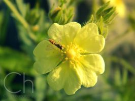 Pollination by Champineography