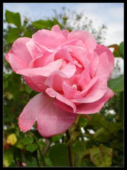 rose and rain 2 - spring 09 by ZethXD