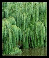 Weeping Willow by mundon