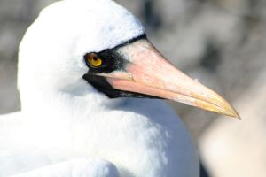 Nazca Booby by Serendith