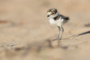 Little Ringed Plover chick by Sergey-Ryzhkov