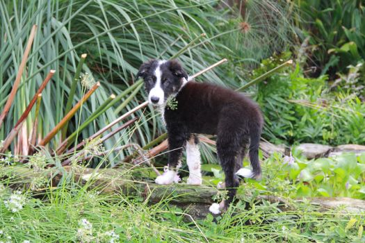 Cody the Border Collie Puppy by Amy2121