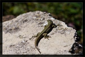Lizard 10 / From behind by deaconfrost78