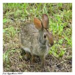 Swamp Bunny Close-up by Cillana