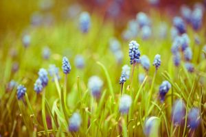 Grape Hyacinth by BlingFoto