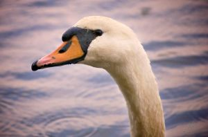 Mute Swan 2 by andy1349