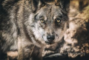 I am Wolf by GJ-Vernon