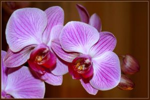 Orchid by AgiVega
