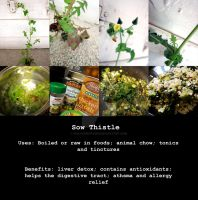 Reference Sheet- Sow Thistle by ValkyrieOfODIN