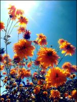 mexican sunflowers by caitastrophe