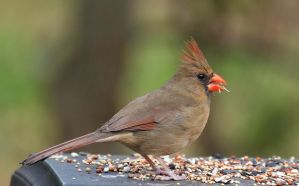 Female Cardinal 5-7-12 by Tailgun2009