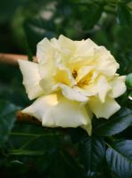 gleaming yellow rose by ingeline-art