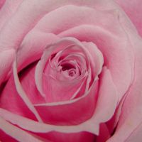 Close Up Center of Pink Rose by FantasyStock